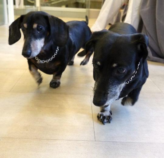 犬腎上腺功能亢進症的心臟功能研究