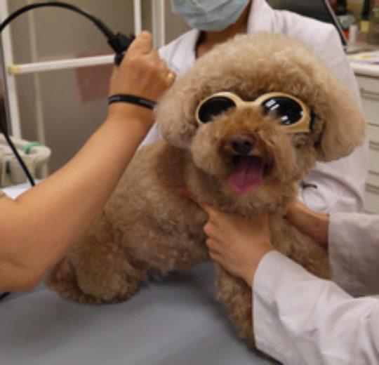 狗椎間盤手術的整體治療應包括術後復健,加速伸經手術的復原與減少術後併發症