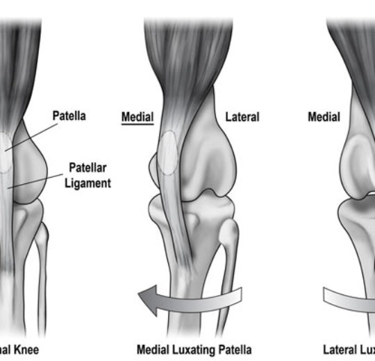 狗膝蓋骨 (髕骨) 脫位與復健式運動
