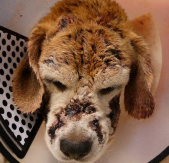 雷射治療對犬隻異位性皮膚炎也有幫助