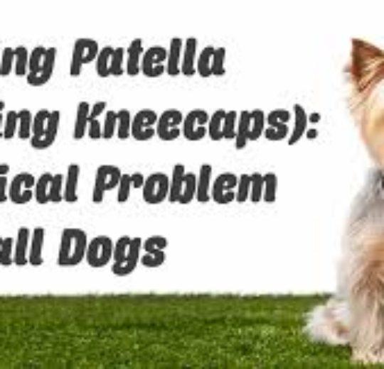 小型狗容易出現膝蓋骨脫位,然而即便進行膝蓋骨外側脫位矯正手術,術後併發症發生率卻仍很高