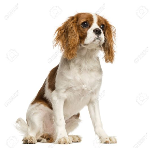 定期的心臟超音波檢查有助於查理斯王騎士小獵犬 (Cavalier King Charles Spaniels) 退化性二尖瓣心臟病的控制與存活時間