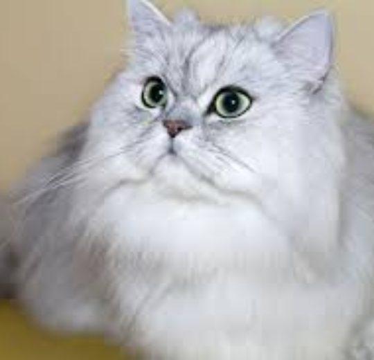 波斯貓的臉越扁 (吻越短) 對健康的負面影響也越嚴重