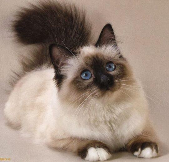 貓的種別也是罹患貓甲狀腺功亢進症的危險因子?