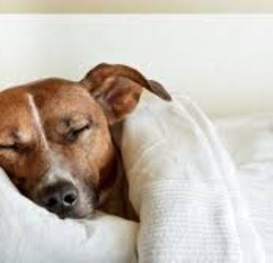 小狗睡覺時,只是休息嗎?