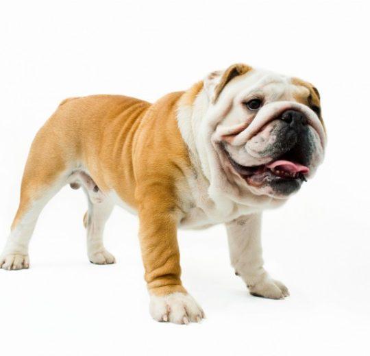 英國鬥牛犬與髖關節退化